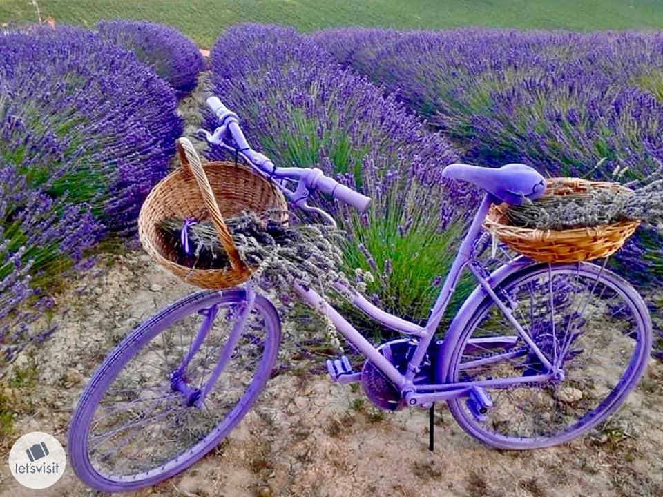 "The Beauty of Wild ""Lavender""........Piedmont (Italy) #italy #lavender  #naturepic.twitter.com/Bl8C7Bx0bV"