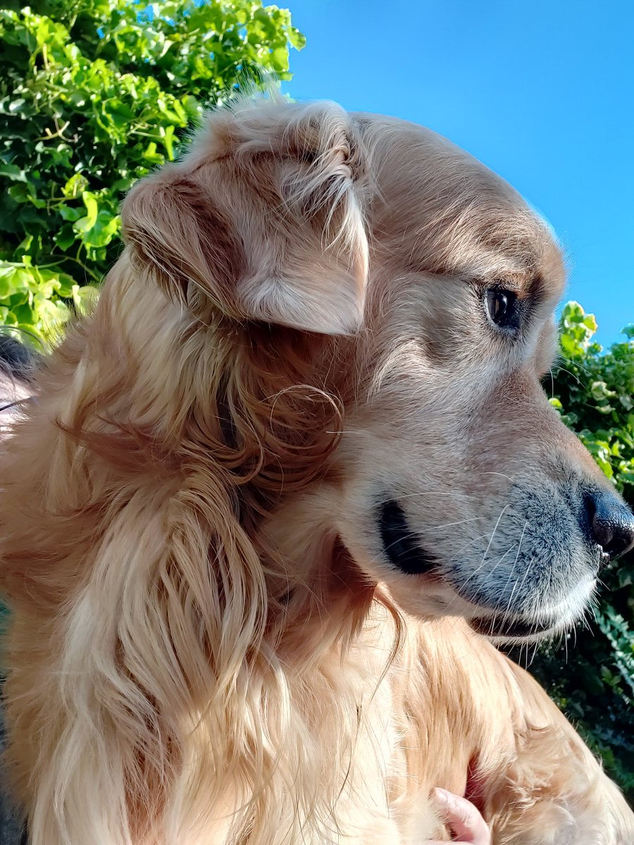 Must say that my Sonny has really kept me positive these last few months, thank you @EvermoreDog and @SCGR_Rescue and @Astrid_Tontson for heartwarming stories & pictures #GoldenRetrievers #dogsoftwitter @Shanks1Scotlandpic.twitter.com/IpBTQPDia5
