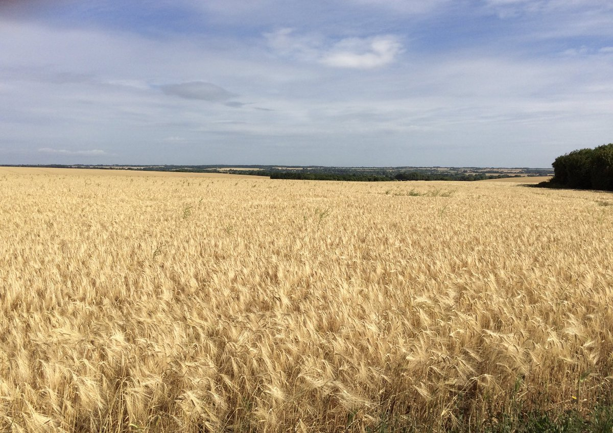 #Barley ripe for #harvest , ripening #wheat and #oats , #fields around great and little #Eversden in #Cambridgeshire pic.twitter.com/nNrKNdfxE0