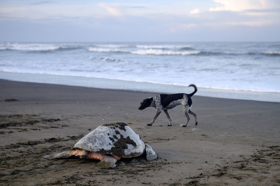 Did you know that dogs have an impact on nesting sea turtles? They chase away or injury nesting turtles. They also prey on hatchlings as they emerge from their nest. That's why you have to control your pets or remove feral dogs from nesting beaches. #RoostersWorld #Jamaica pic.twitter.com/TcTjmlRNNr