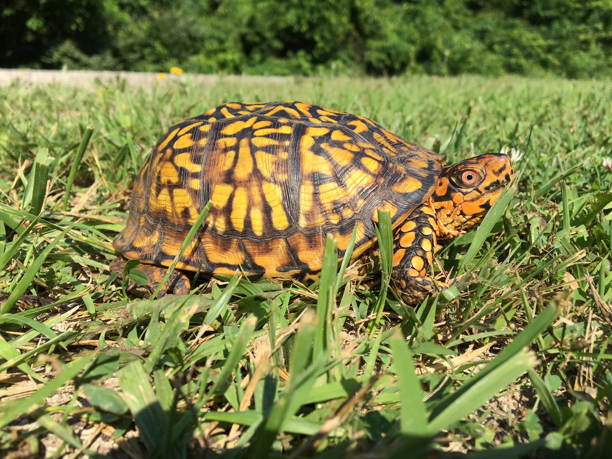 A traversing turtle for your Tuesday morning! Just in time to assist this brilliant E Box Turtle across the HWY. Happy trails, lovely lady!