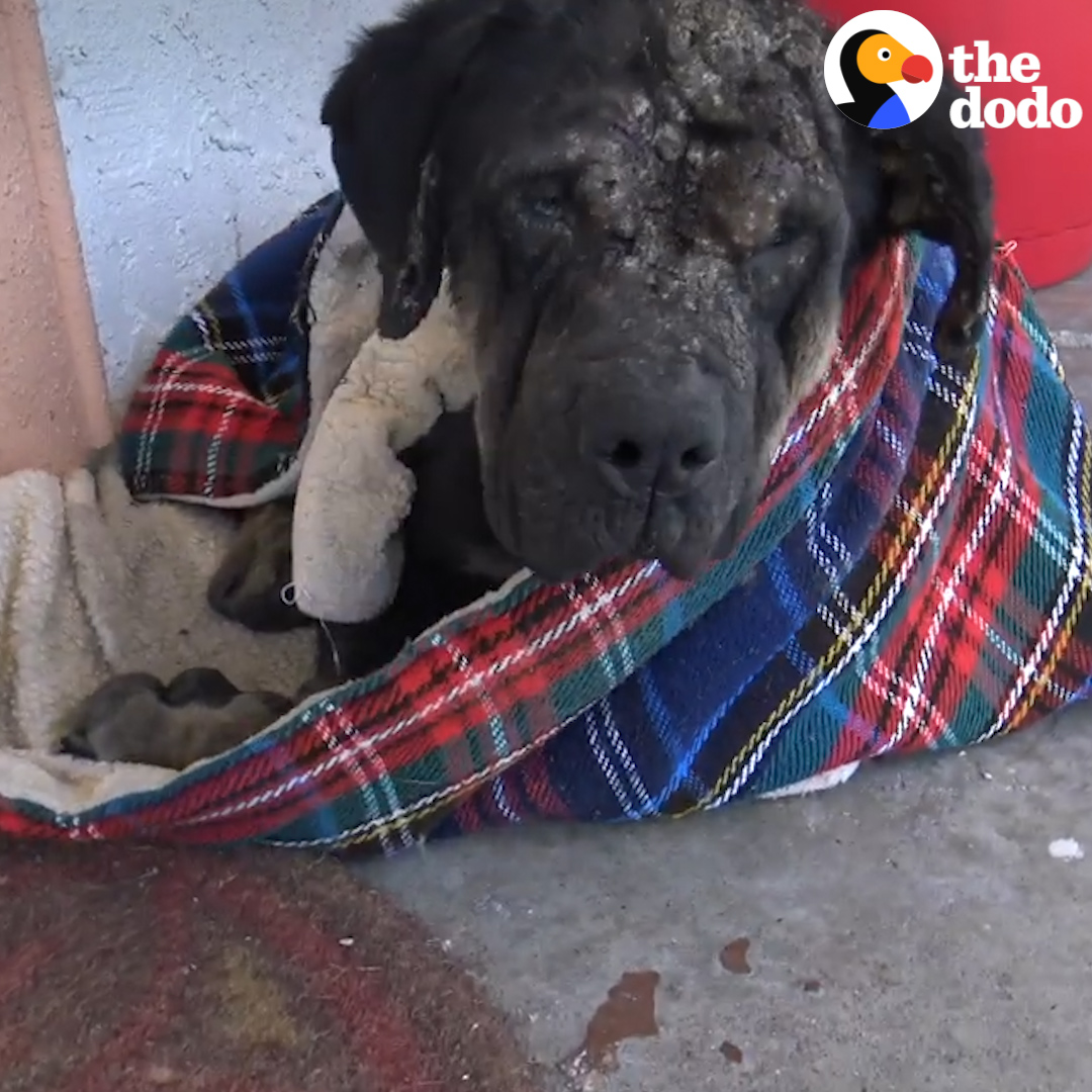 Stray dog collapses on this womans porch — and slowly turns into the most beautiful puppy ❤️