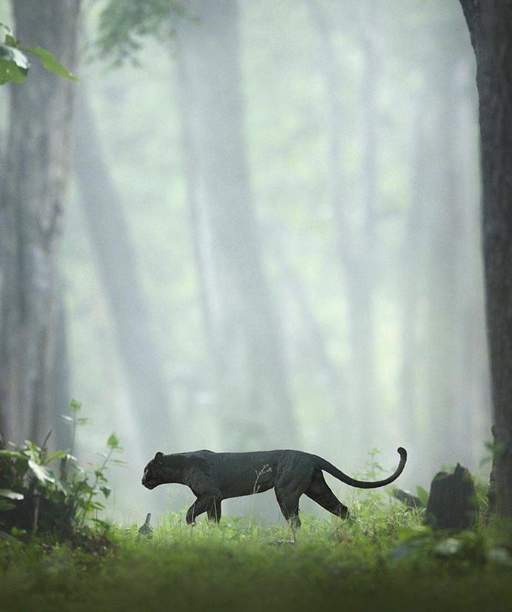 الهند ، ادغال كابيني ، النمر الأسود 🇮🇳🐅 https://t.co/ioguApPTLi
