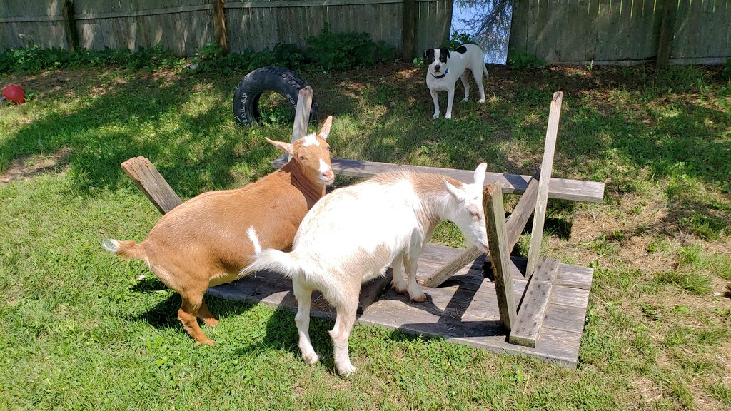 "Mom's trying to fix our table.. We're ""helping""... we need #tools Mom! #goats are such great #helperspic.twitter.com/LXvwgWfVbP"