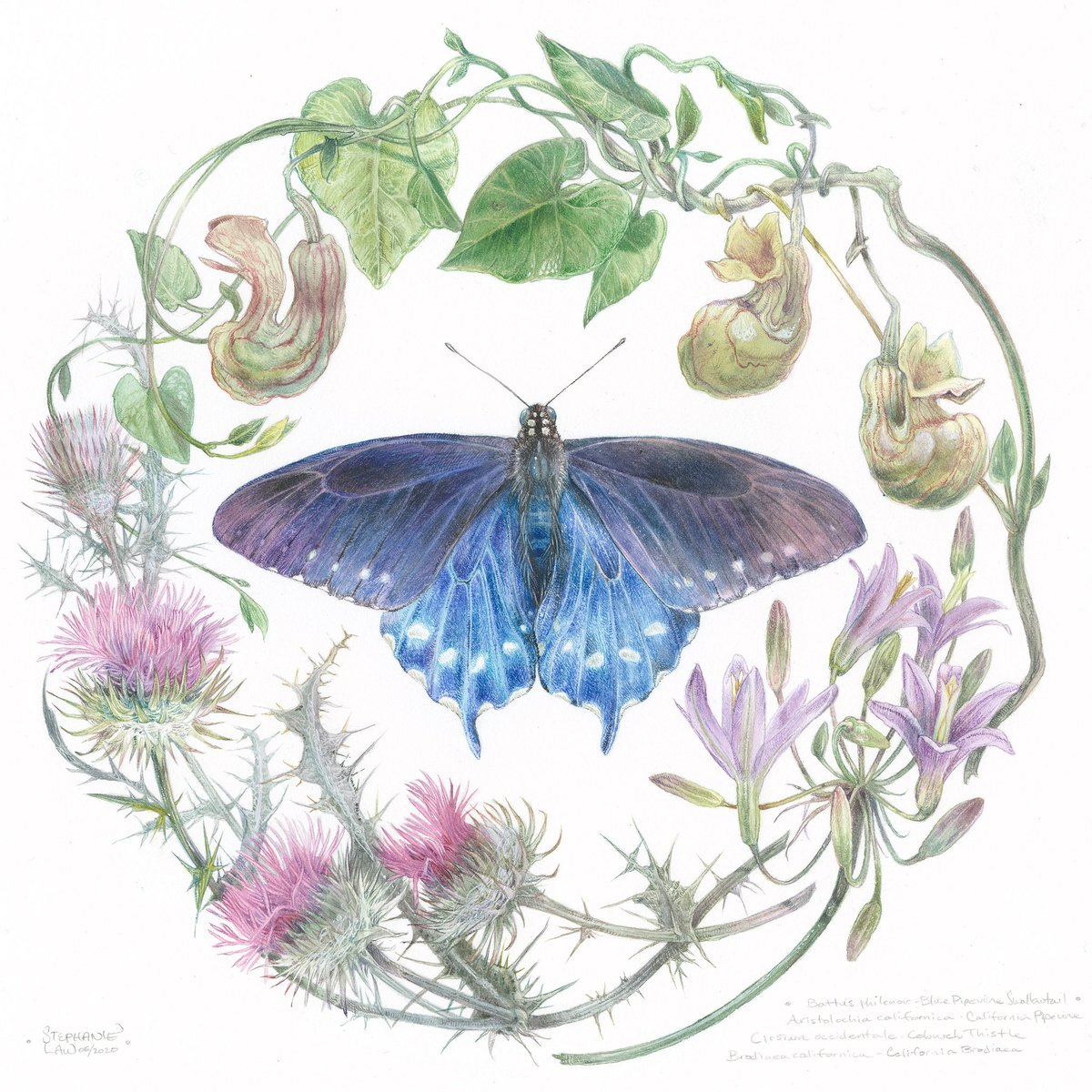 A blue pipevine swallowtail butterfly. Prints here: shadowscapes.com/image.php?line…