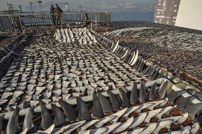 Shark finning kills over 100 million sharks every year. We must put an end to this most barbaric trade. theguardian.com/environment/20…