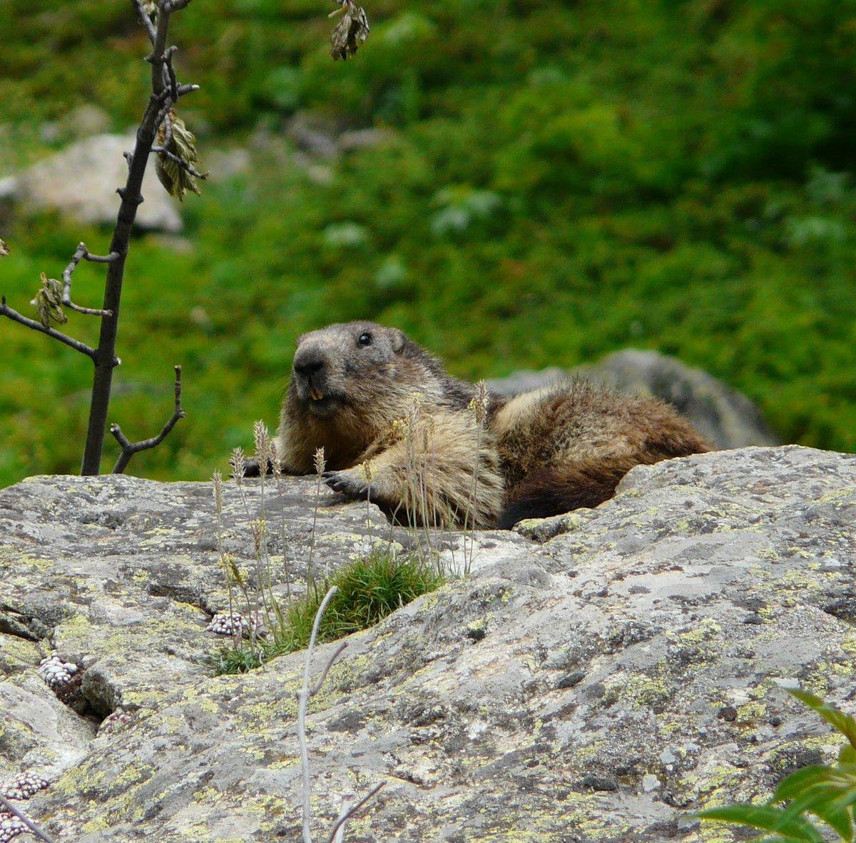 Rencontre avec les reines de la montagne 🤩 qui fait bronzette? #marmottes #frenchalps #france #nature #hiking #photography #photooftheday #alpes #mountains #picoftheday #naturelovers #naturephotography #landscape #adventure #outdoor #montagne #rando #paysage #alpesfrancaises https://t.co/Zdf98RckvN