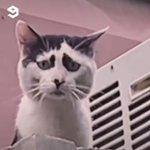 「にゃんだとコラ」目の横の模様でメンチ切ったように見える猫の表情