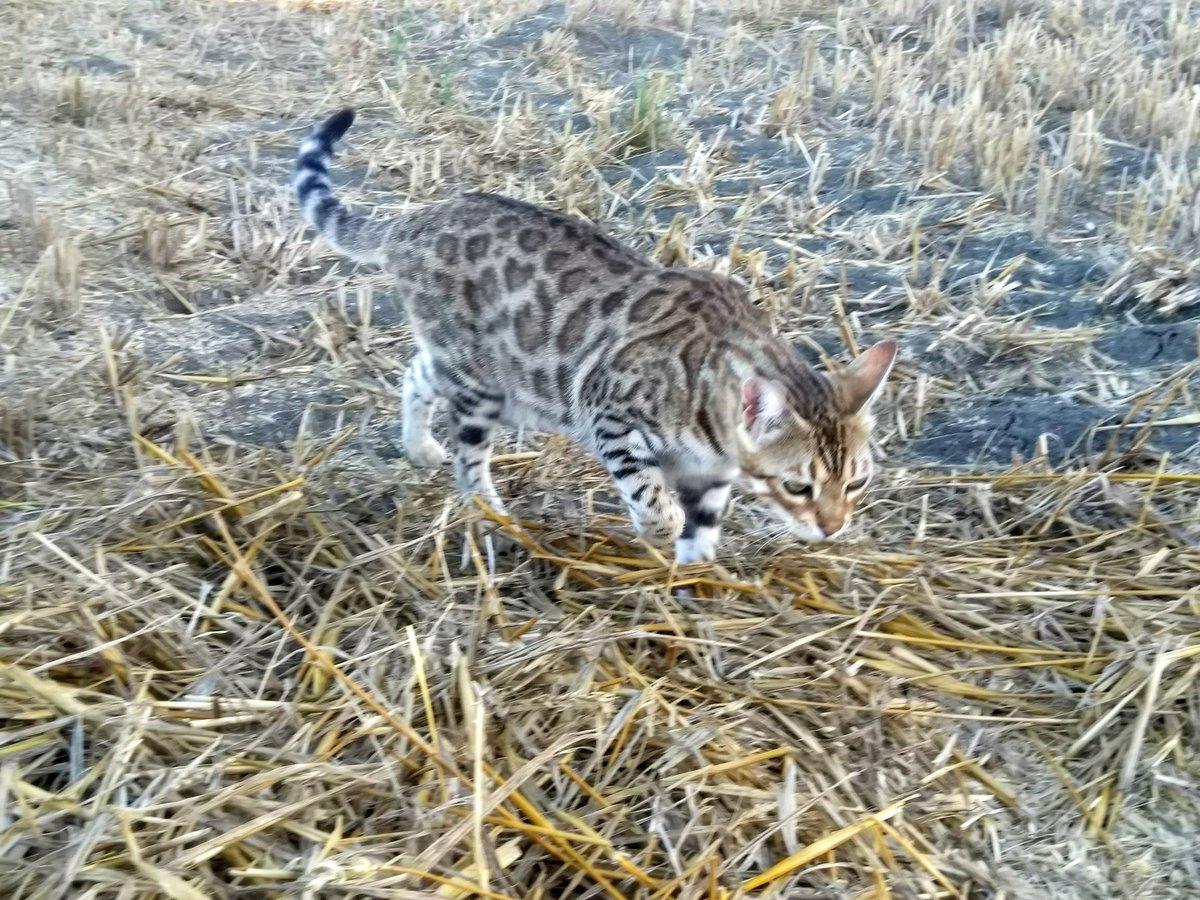 #Joy, la mia leopardina campagnola. #bengalcat https://t.co/6T5aHEmD05
