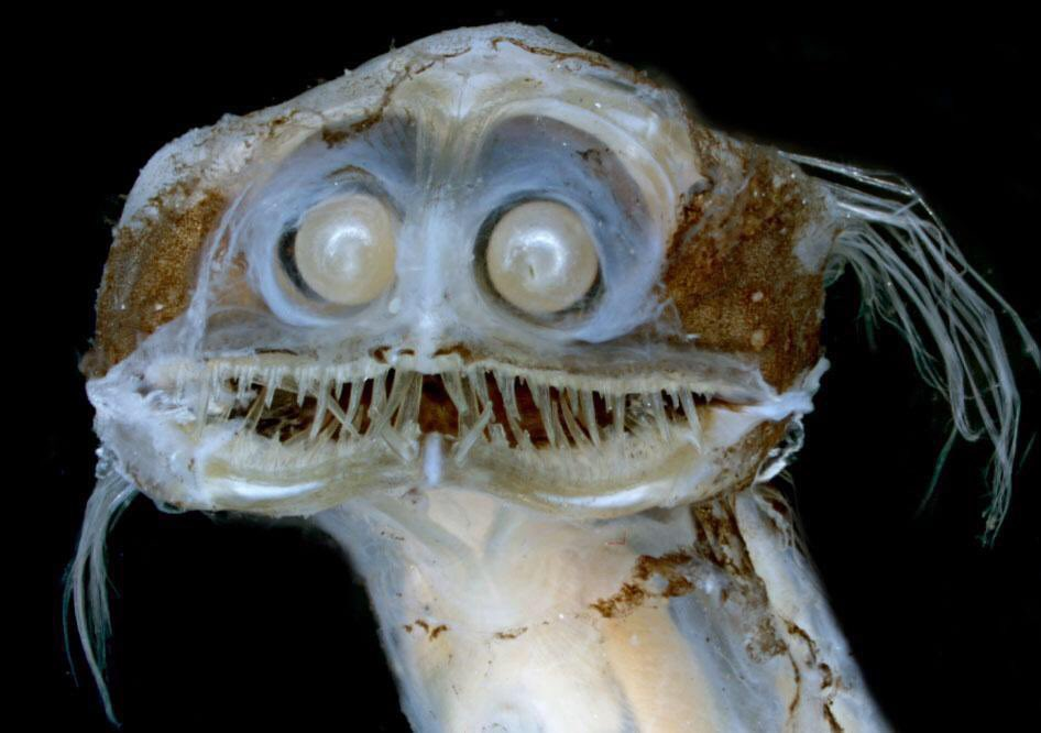 RT @amaiahorion: Y'all ever seen a deep-sea telescopefish? https://t.co/hDZrR3UoQH