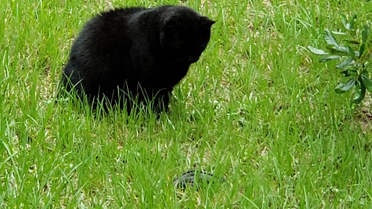 Jerry finally caught a black racer. 😢🐍
