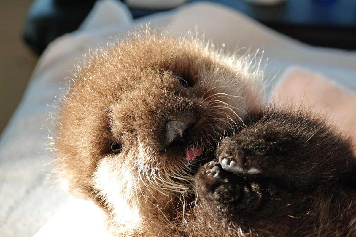 Joey is one of our latest patients. He is an orphaned sea otter pup, just under 2 weeks old. https://t.co/3p5PgFnCXd #vancouver #cuteanimals #sofluffy https://t.co/ZQBCbOkzg2