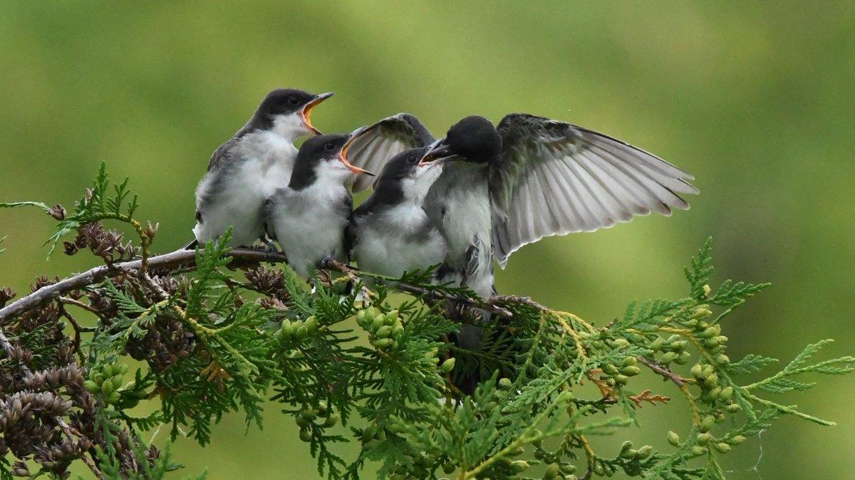 Adorable Eastern Kingbird Fledglings begging for food #birds #birding #birdphotography #naturephotography #naturelover #Nikon #Ottawapic.twitter.com/kWVwNDUjB1