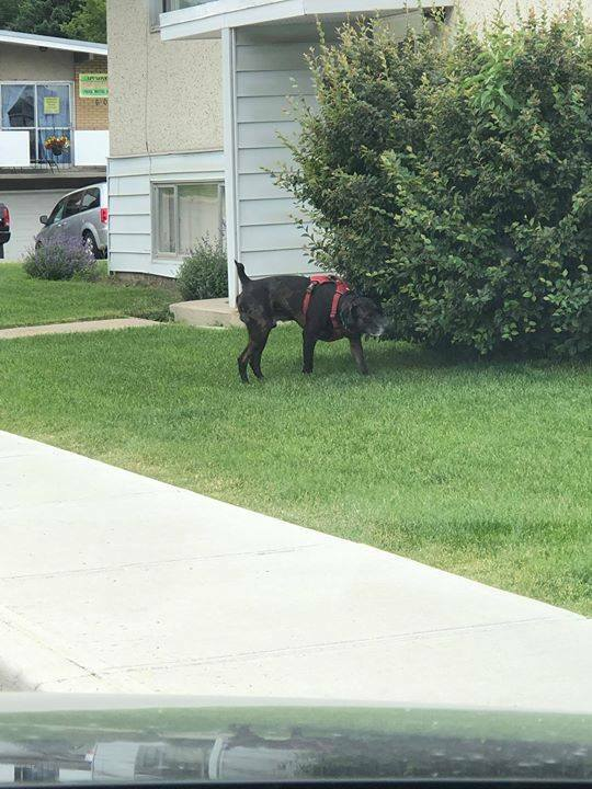 SIGHTING black/ brown Labrador Retriever type dog in #windsorpark. Call 311 ASAP if sighted. DO NOT CHASE. Pls rt, share, watch, help pup get home.  Black or brown lab-type dog wandering without an owner in Windsor Park at corner of 54Ave and 6St SW. This dog has been seen b… pic.twitter.com/t3xldrROWW