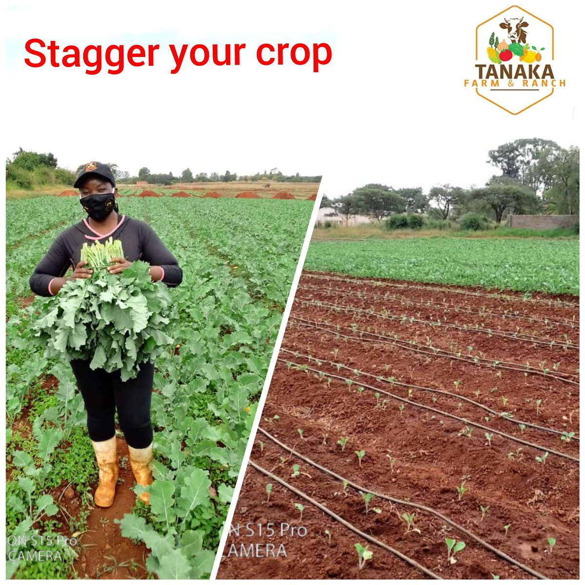 Nothing hurts more than losing potential income when buyers want your produce and you have run out because you did not plan your planting schedule well. Stagger your crop so that EVERY DAY you go to market, remember you can have a retail arm on your farm with daily sales #farming