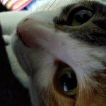 Image for the Tweet beginning: 今日も、マイ椅子は不法占拠されています…w ツンツン!→キラッ😺→負け😇 後程「もふもふ税」を払わせますw  #もも #momo #朝もふの儀 #もふもふ税 #猫 #ぬこ #三毛猫 #ねこすたぐらむ #ねこと暮らす  #ねこすきさんと繋がりたい  #ねこ #ねこのきもち #cat #catstagram