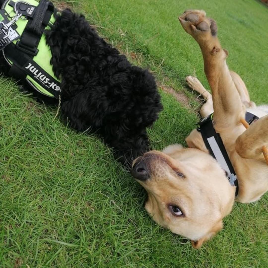 Did someone say its #wackywednesday ?! Bertie definitely has it covered 🤪😂  📸 Bertie + Rory  . . .  #assistancedogs #therapydogs #autism #autismawareness #balesbuddies #dog #doglover #dogtraining #dogoftheday #pet  #dogs #doglife #happy #doggo #servicedog #workingdog #goofy https://t.co/nik8qKNowA