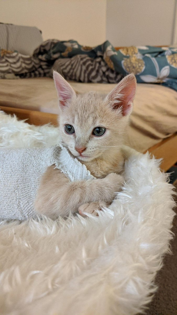#Baby #Tule in her #Sock #Onesie (to #Protect her #Spay #Incision)   #Cats #Cat #Kittens #Kitten #Kitty #Pets #Pet #Meow #Moe #CuteCats #CuteCat #CuteKittens #CuteKitten #MeowMoe    https://t.co/szG9oz2aLi https://t.co/CU93FZZKOj