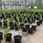 Image for the Tweet beginning: Our Maize glasshouse trials always