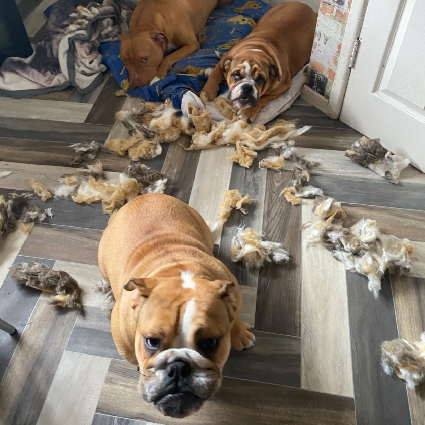 Guess who? It's wasn't me it was them , wasn't me either?  guess it was the imaginary dog at the side of you lot!?!? @dogs_retweet #OMG #BadBoy #badgirl #englishbulldog #pitbullsofinstagram #pitbull #wednesdaymorning #sorrynotsorry #WednesdayVibes #GUILTYpic.twitter.com/bE4DrqOhvj