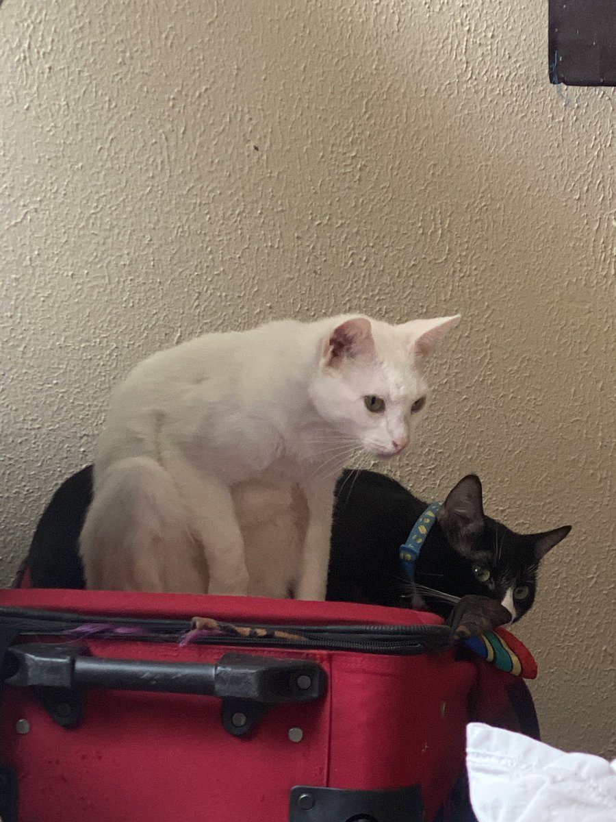 It's almost 4am and I'm casually scrolling thought twitter with my kitties. Is that not what life is. Pic of my beautiful children for reference  #cats #catmom #casual https://t.co/wTEF00HM6f