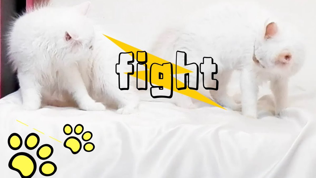Cutest fight between two #Cute ...   #Cats #Cat #Kittens #Kitten #Kitty #Pets #Pet #Meow #Moe #CuteCats #CuteCat #CuteKittens #CuteKitten #MeowMoe #Beautiful #BeautifulCats #BeautifulKittens #BestVideo #Carryover #CatCute #CatFamily   https://t.co/n5J5t7GFUz https://t.co/QZK6PQXZeA