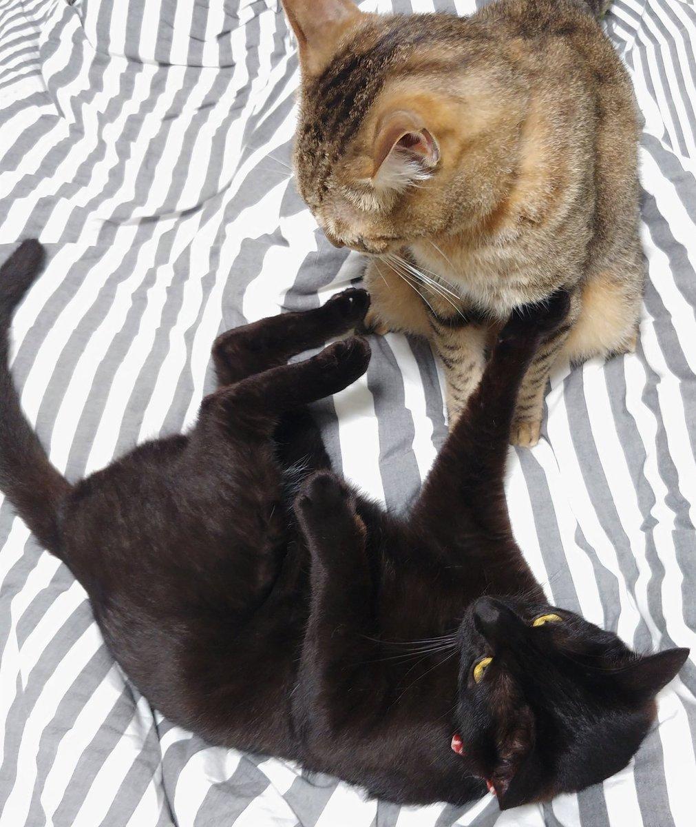 810日目。割としっかりアッパーを食らったが、悠々と大人の余裕で黒猫をクッションにするキジトラ。