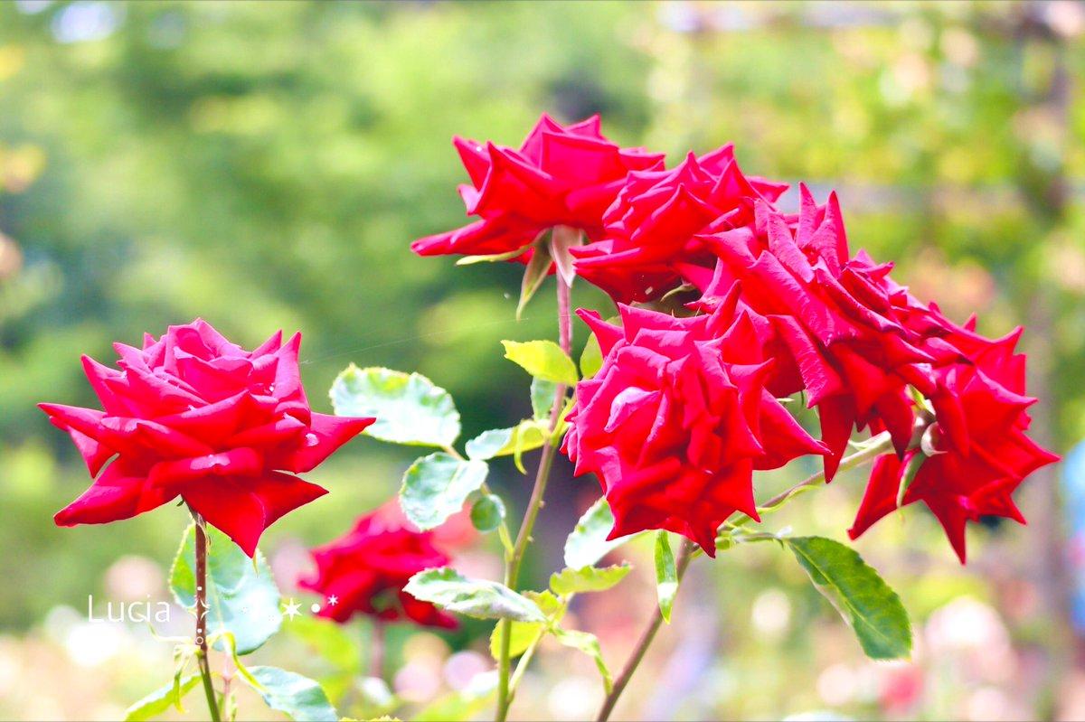 少し晴れ間が見えて☀️.°雲の合間から光が差し込むだけでなんだか うれしい𓂃𓈒𓏸𓍯𓏲˒˒٭𓈒𓂂今日もありがとう٭𓈒𓂂𓏲˒˒◡̈♡まだ咲いていた薔薇と⋆*🌹୧*⌖⋆゚︎︎࿐⋆꙳𓇼⋆゜いつかの晴れた空