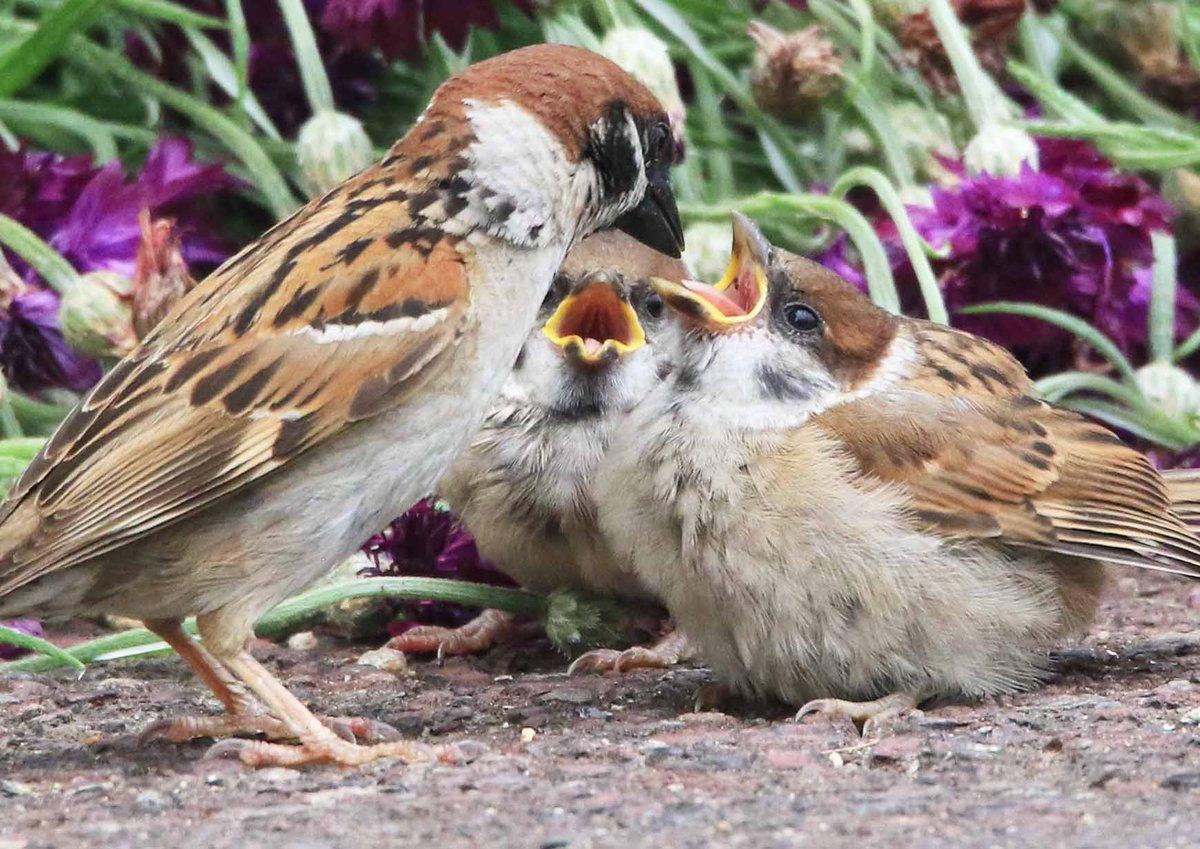 教会の庭のスズメの親子。たくさん食べ物をもらっているのでしょう、子スズメたちはふっくらフワフワです(。・ө・。)