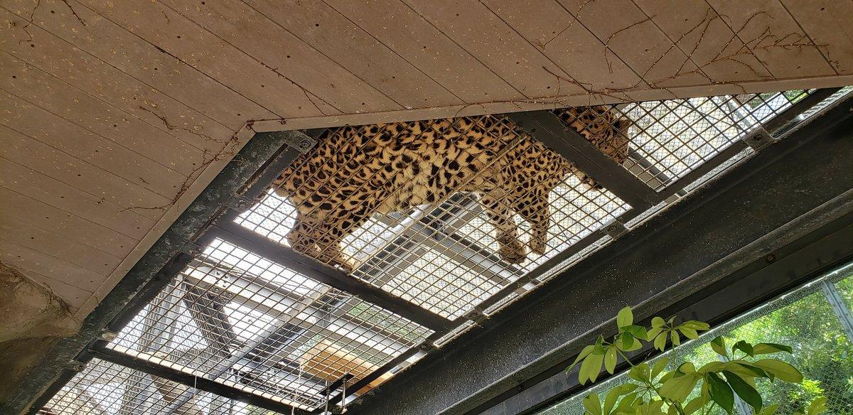 動物園いってた!あみあみの床に寝たヒョウを下から見たの図