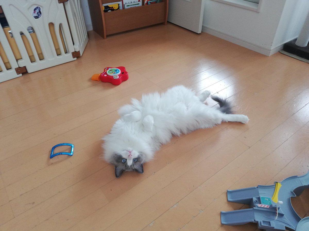 猫が全員ヘソ天で落ちてるなんて、我が家はどれだけ安全なんだ😆