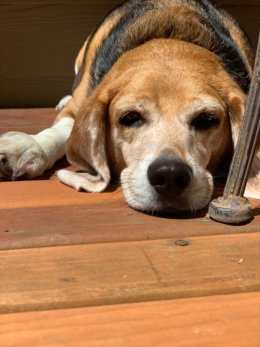The Dog Days of summer! #beagle #furbaby #dogsoftwitterpic.twitter.com/eEz3UbQn10
