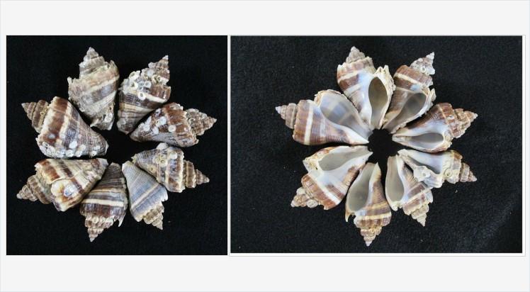 Crown #Conch #Shells Natural Weathered 8 shells Gulf of #Mexico #Beach #Etsy #etsyspecialt #etsyseller #shopsmall #VintageEtsy @SNRTG @SGH_RTs @blazedrts @SpxcRTS #etsy #etsypro @SympathyRTS @FearRTs @RTFAMDNR @Cods_Rts https://www.etsy.com/HobbitHouse/listing/785696589/crown-conch-shells-natural-weathered-8?ref=listing_published_alert…pic.twitter.com/Kq9FFT6pJE