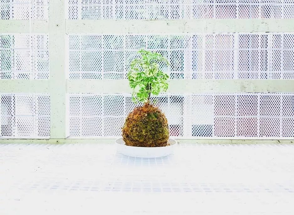Dica de hoje para os pais de planta de primeira viagem: veja como cuidar direitinho da árvore-da-felicidade!  https://t.co/1jhN8wTIwI https://t.co/c3xaqwJhT5