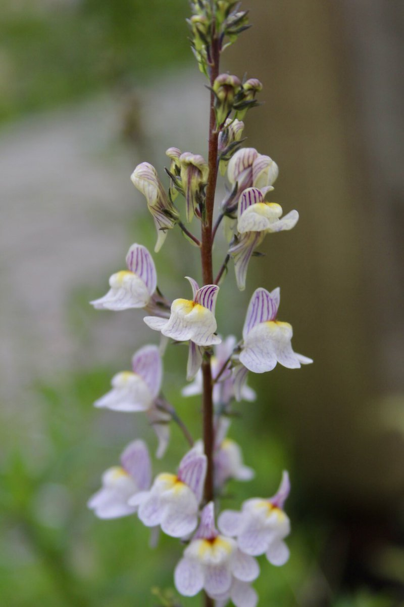 Another beauty from Minera Quarry, the lovely Pale Toadflax, Linaria repens #Wildflowerhour <br>http://pic.twitter.com/SoSYIe9zax