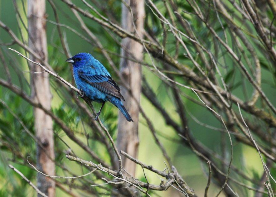 Indigo Bunting. #photography  #birds  #birding #birdwatching  #Nikon  #birdphotography  #wildlifephotography  #NaturePhotography  #nikonphotography #amateurphotography  #wildlife #nature  #blue  @NikonUSA @Sigma_Photo @BlackRapid @Lowepro @LumeCube @MeFOTOTripods @hoyafilterusa https://t.co/JSbwOGgEQi