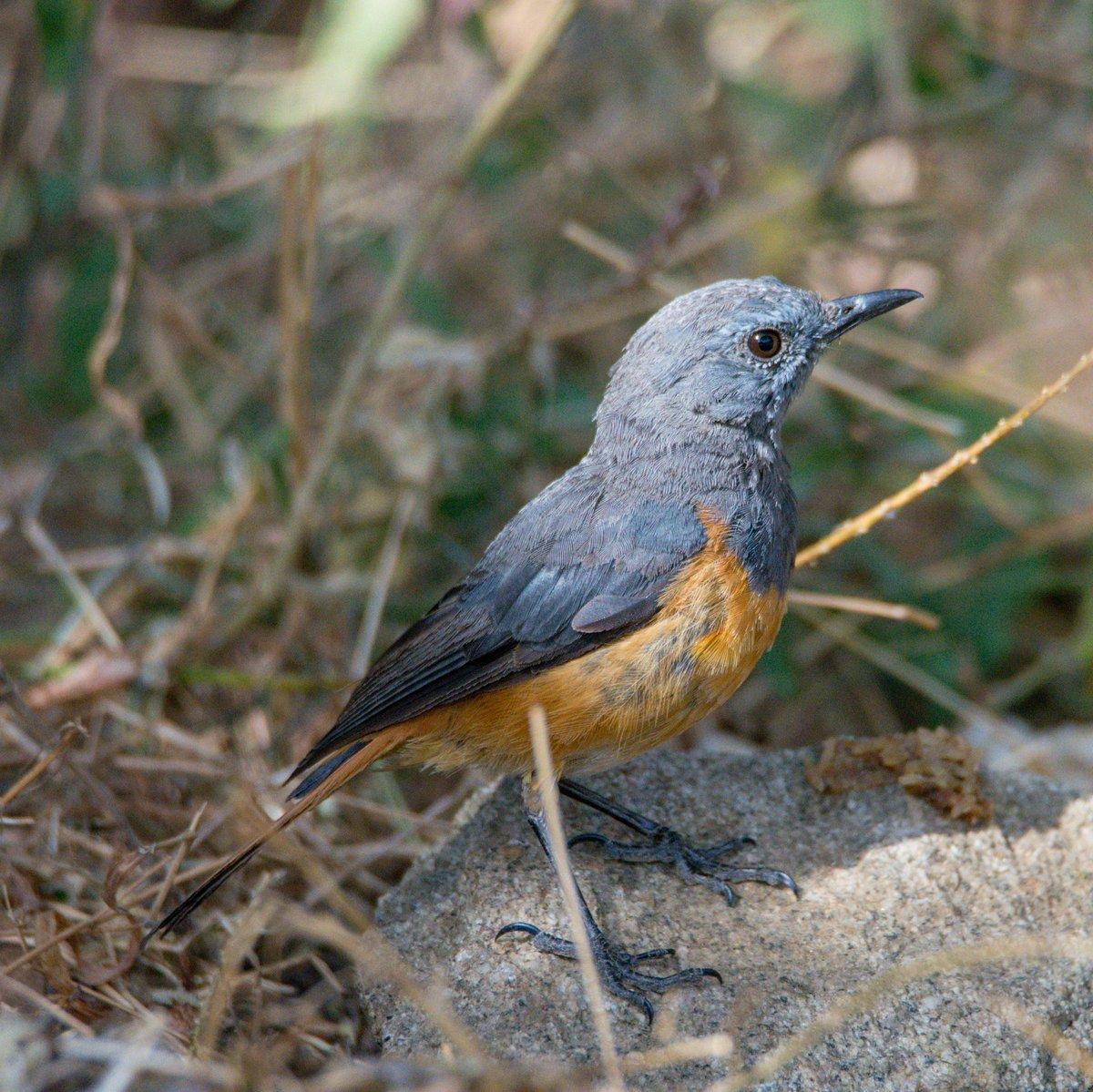 Little Rock Thrush Arabic: سمنة الصخور الصغيرة  Location: Tanomah | Asir Region | Saudi Arabia  الموقع: تنومة | عسير | المملكة العربية السعودية  #birds #wildlife #nature #photography #photographers #amazing #travel #tourism #beauty #photo #ksa #beautiful @SaudiMagazine @IASArabiapic.twitter.com/t1UBjbj4Jq – at Tanumah