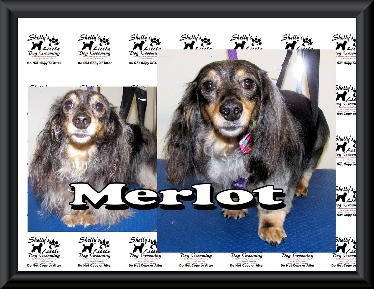 A Big Welcome To Merlot Her 1st time here & she did pretty good.  I look forward to seeing this Little Bean again.#groomsbyshelly #ExpressGrooming #ExpressDogGrooming #grooming #dogsofinstagram #PhotoShoot #DigitalPictures #ReginaDogGrooms #ReginaSK #doggroomingpic.twitter.com/bAvKbaFrtE