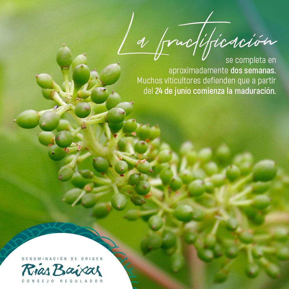 La fase de fructificación, también conocida como cuajado, se completa en aproximadamente dos semanas. Muchos viticultores defienden que a partir del día de San Juan, el 24 de junio, es cuando el fruto de la vid comienza ya a madurar. 🌱  #CiclodelaVid #RíasBaixas #EsenciaOceánica