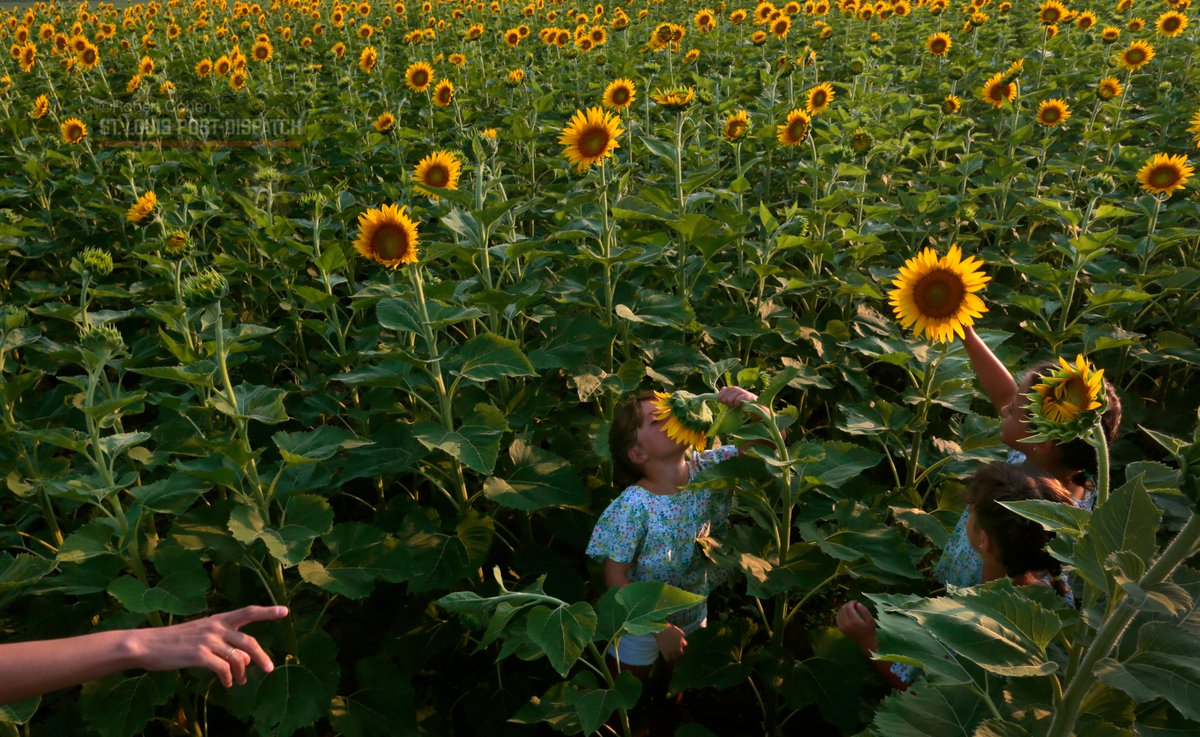Photos: Plant the sunflowers, the people will come. stltoday.com/news/multimedi…