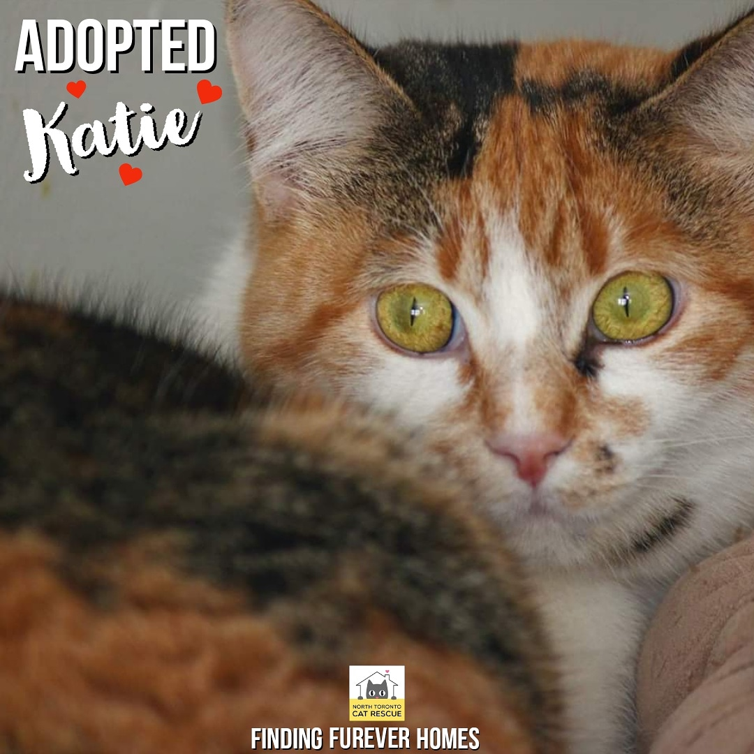 Our timid little sweetie Katie has found the perfect family that will lover her furever. 😻 #catadoptions #catrehabilitation #catrescue #northtorontocatrescue #kittens #calico #catlovers #adoption #nonprofit #giveback #volunteering #sweet #cute #pretty