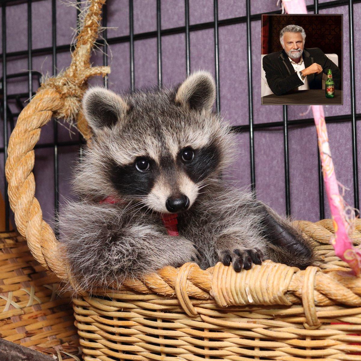 I don't always eat garbage, but when I do...  #raccoon #babyraccoon #babywildlife #WildlifeWednesday #babyanimals #cutebabyanimals #cuteanimals #cutepets #raccoonlife #petraccoon #rocketraccoon #forbiddencatto #chonk #CutenessOverload #cute #urbanwildlife #wildlifephotography https://t.co/hnbA731UTl