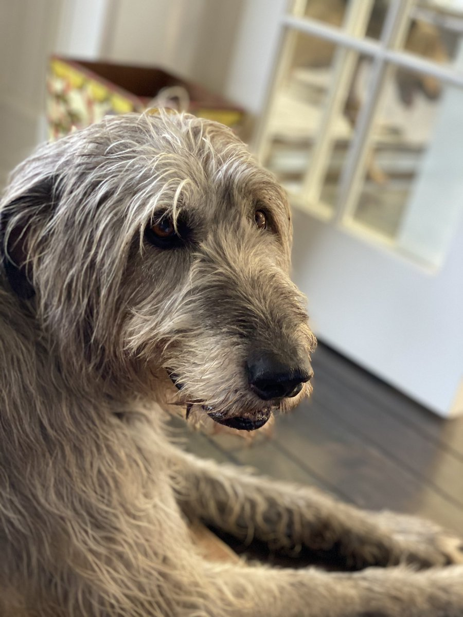 My Irish Wolfhound Ruby is such a gentle giant ! #irishwolfhound what's your favorite dog breed ?
