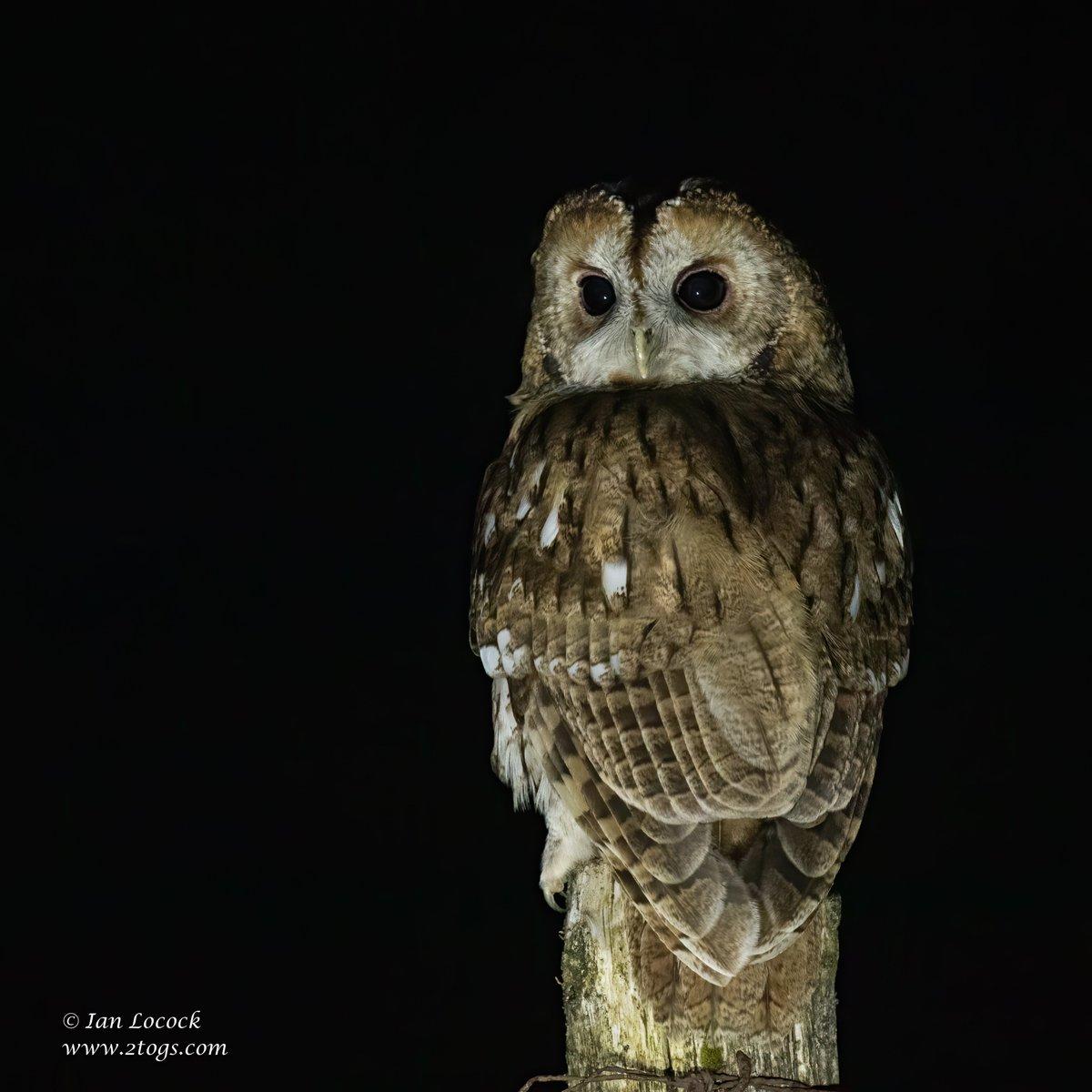 Tawny Owl - Dumfries & Galloway, Scotland  #Birds #wildlife #wildlifephotography #nature #naturephotography #2togs #ianlocock #owls https://t.co/lUTJyF258j