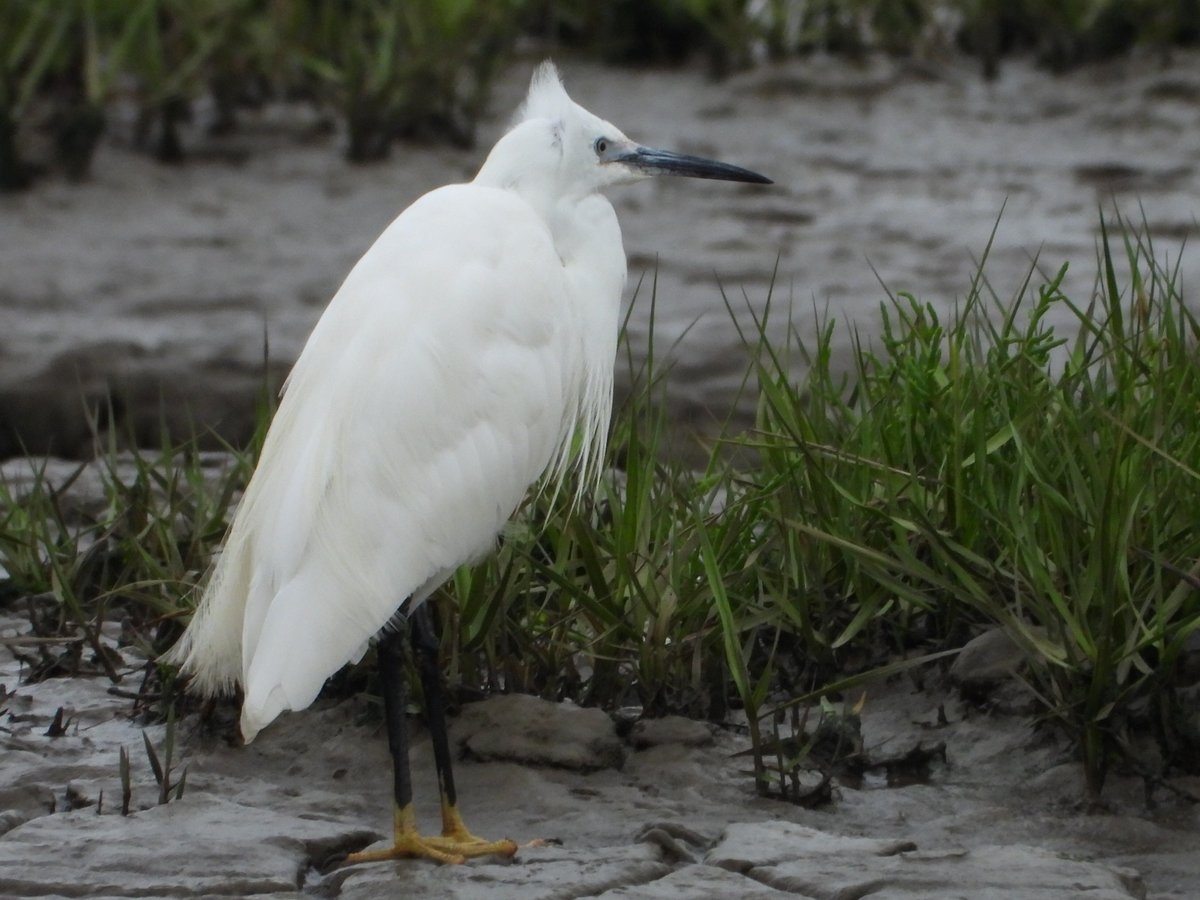 'These boots are made for wading!' Take a look at this Little Egrets yellow feet - looks a bit miserable in the rain! ☔️💧 @Natures_Voice @Britnatureguide @NatureUK @iNatureUK @BirdWatchingMag @ThePhotoHour #wildlifephotography #NaturePhotography #birdphotography #birdwatching https://t.co/X7fMCXzdrl