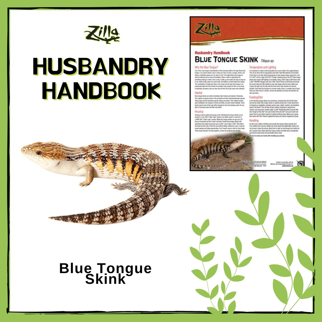 For an animal whose color is made up of tans, browns, oranges, silvers, and blacks, the Blue Tongue Skink's tongue definitely stands out! Learn more about this fascinating animal with our Care Sheet!  Read more >>> http://bit.ly/31SUOFQ pic.twitter.com/kjBm4dnT3Z