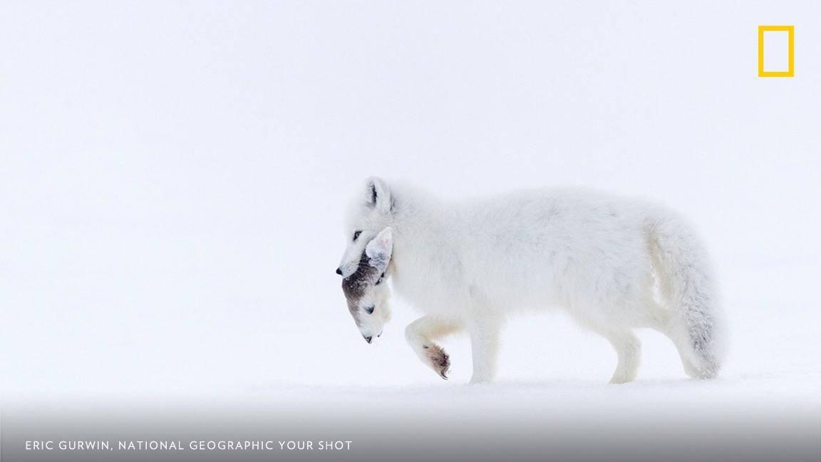 "For an arctic fox, ""Finding the last remains of a caribou carcass may mean the difference between life and death,"" writes Your Shot photographer Eric Gurwin https://t.co/7Zd93YtwtR"