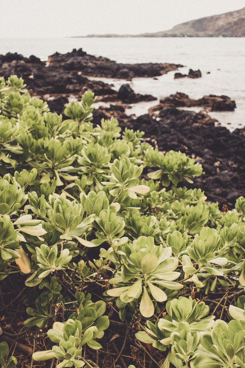 Here's your daily fix of Hawaiian flora🌚  #canon #50mm #bokeh #travel #travelphotography #travelgram #traveltheworld #travelblogger #vacation #beach #beachlife #ocean #oceanview #hawaii #hawaiilife #islandlife #snorkeling #snorkel #landscapephotography #floraldesign #flowers