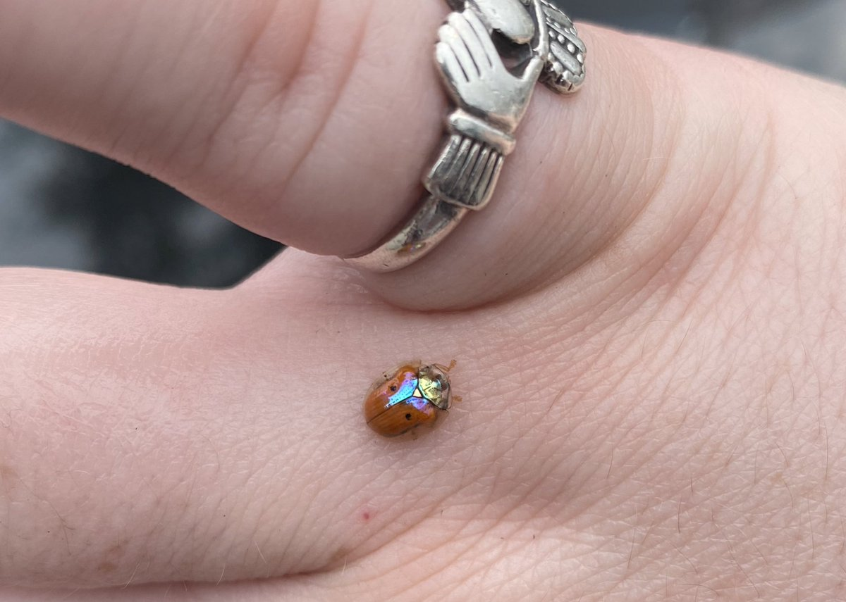 Today I saw a VERY SHINY BUG!! @isabetabug told me it's a Golden tortoise beetle! How cool is that!!