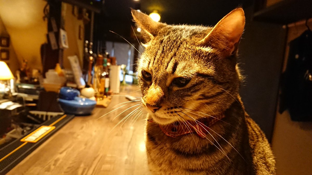 Kisuke Security Service業務日報  1階店舗内、カウンター上を警備中のサツキ隊長です  今日も自宅の平和は守られましたw  #中国茶とお酒のお店喜助  #KisukeSecurityService #kss広報部 #ねこ #猫 #cat #保護猫 #サツキ隊長 #茶月店長 #看板猫  #猫のいる店 #中崎町 #天満